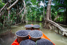 Fresh Acai Berries Fruit In Straw Baskets In Red Boat And Forest Trees In The Amazon Rainforest, Brazil. Concept Of Environment, Conservation, Biodiversity, Healthy Food, Ecology, Agriculture.
