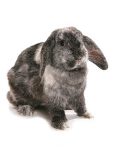 Female Lop Eared Rabbit