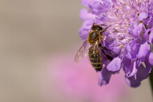 Honeybee On Scabious Flower