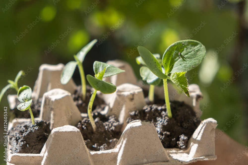 Fototapeta young Cucumber seedlings planted in box from under eggs