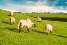 Flock Of Sheep Grazing On A Dyke By River Ems, East Frisia, Lower Saxony, Germany