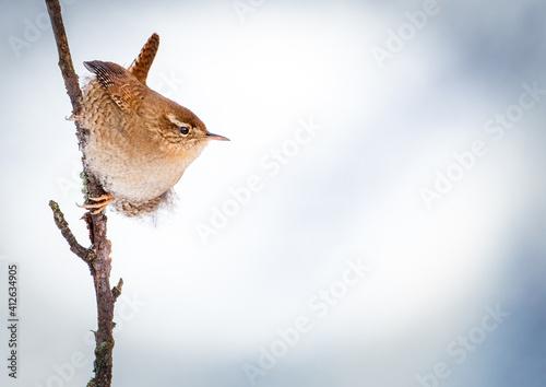 Fototapeta Wren in wintertime