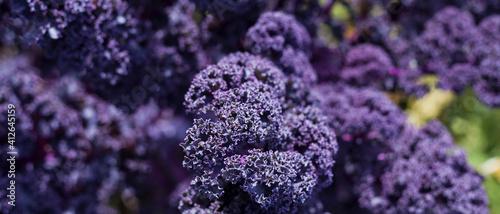 Foto Redbor Purple Kale cabbage in the garden.