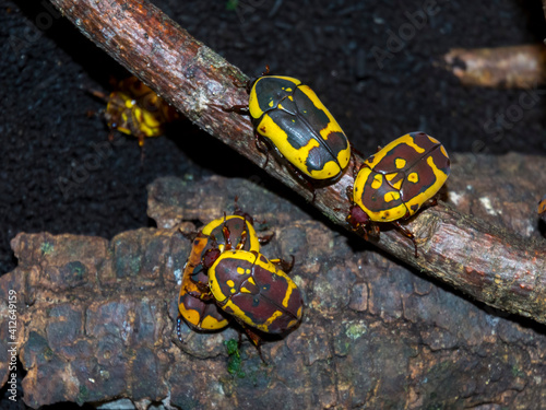 Valokuvatapetti Yellow and black African garden fruit chafer bugs