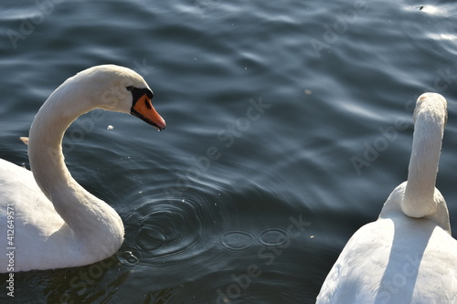 Fototapeta High Angle View Of Swan Swimming In Lake