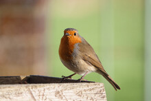 Close Up Of A Robin Red Breast On A Wooden Bird Feeder Table