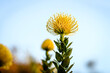 canvas print picture - Close-up Of Yellow Flowering Plant Against Sky