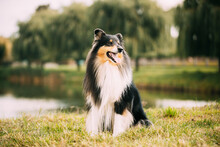 Tricolor Rough Collie, Funny Scottish Collie, Long-haired Collie, English Collie, Lassie Dog Posing Outdoors On Lake Coast