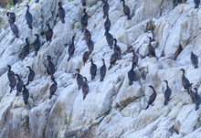 Flock Of Double-crested Cormorants On Cliff In Glacier Bay, Alasaka
