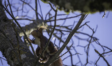 Low Angle Shot Of A Squirrel On The Tree In Spring With Blue Sky On The Background