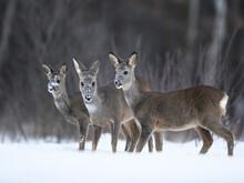 Roe Deer Females Pack ( Capreolus Capreolus )