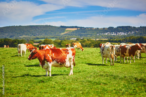 Foto Cows grazing on a green pasture in Brittany, France