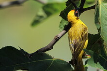 Male Southern Masked Weaver Perched On A Fig Tree Branch.