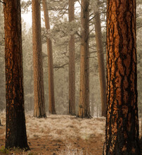 Ponderosa Pine Trees On Three Creeks Road In Sisters Oregon