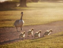 Family Of Geese On Field