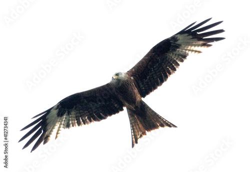 Fototapeta Low Angle View Of Red Kite Against White Sky obraz