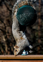 Close-up Of Squirrel On Bird Feeder