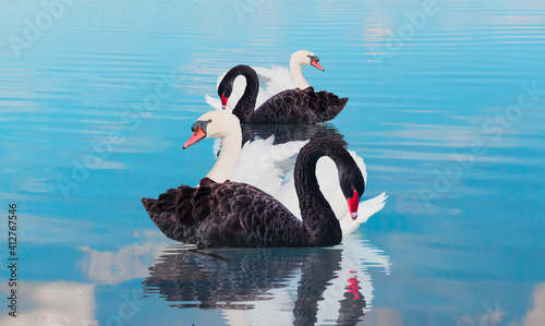 Fotografie, Obraz Four swans swiming together in calm blue water - Black and White swan   - Black