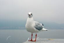 One White Larus Ridibundus Looks Little Proud  Standing On The Platform