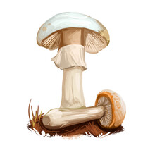 Amanita Ravenelii Or Pinecone Lepidella Mushroom Closeup Digital Art Illustration. Boletus Has Whitich Cap, Ring And Volva. Mushrooming Season, Plant Of Gathering Plants Growing In Wood And Forest