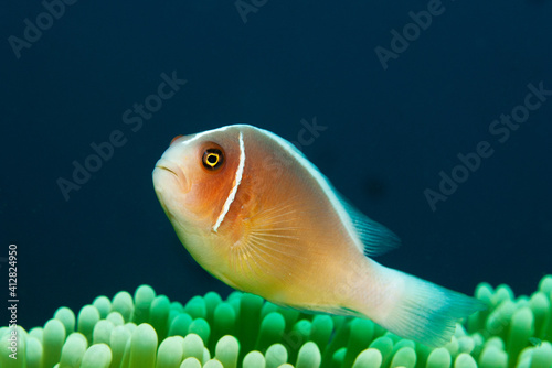 Fotografering Pink anemonefish (Amphiprion perideraion) - also known as the pink skunk clownfi