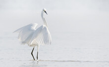 Eastern Great Egret Standing In The Water- High Key. Scientific Name Ardea Alba  Modesta