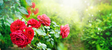 Beautiful Red Roses Against  Backdrop Of Greenery Of A Well-groomed Garden In Morning Sun. Roses Flowers In Nature Outdoors.