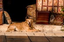 Cute Shaggy Golden Retriever Dog Lies On The Street.