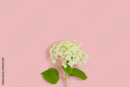 Tableau sur Toile White hydrangea flower on a pink background with copyspace