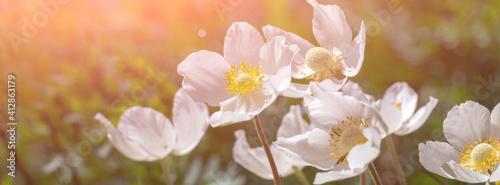 Fotomural Banner white anemone flower in the sun.