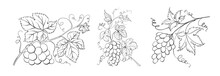 Set Of Differents Grapes On White Background.