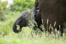 African Elephant And Calf In The Kruger National Park
