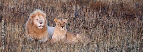 Fotografia Beautiful Lion and lioness in the savanna