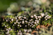 Close Up And Focus Stacking Of Tiny Mushrooms And Lichens On A Tree Branch