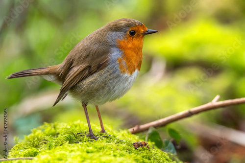 Fotografie, Obraz European Robin Redbreast Erithacus Rubecula Old World Flycatchers And Chats
