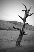 Vertical Grayscale Shot Of A Dead Tree In A Field With Sheep Grazing In A Background