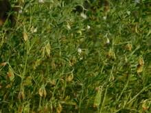 Lentil Plant Growing Close Up.Macro Photo Of A Lentil (Lens Culinaris) Flower In A Field.