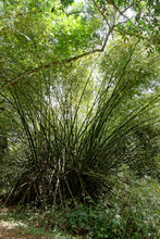 Bambou En Forêt Amazonienne - Guyane Française