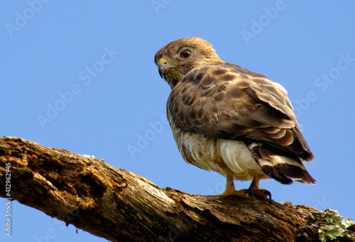 Canvas-taulu Red-shouldered Hawk