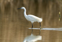 Little Egret Ponds And Marshes Of Europe