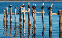 Brown Pelicans & Cormorants On Posts