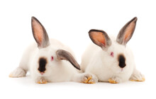 Two White Rabbits Isolated.
