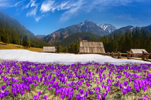 Crocuses In The Tatra Valley