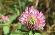 Beautiful Clover Flower In The Garden, Closeup