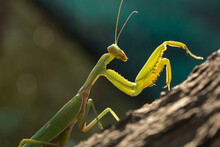 Macro Of A Green Praying Mantis Resting On A Tree Trunk