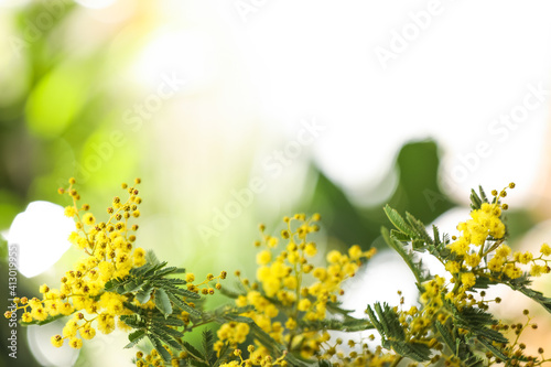 Fototapeta Beautiful mimosa plant on blurred background, closeup. Space for text obraz