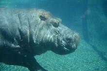 Hippo Underwater Zoo