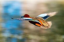 Cinnamon Teal Duck Flying Over Santee Lakes, California, USA