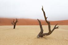 Africa, Namibia, Namib Desert, Namib-Naukluft National Park, Sossusvlei, Dead Vlei. Ancient Dead Camel Thorn Trees (Vachellia Erioloba) Framed Against The Fog Enshrouded Red Sand Of The Dunes.