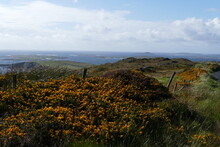 Gorse Flowers And The Sea